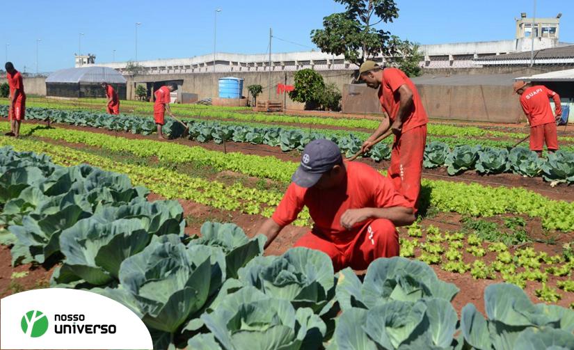 Presos em MG produzem até 400 caixas de legumes por mês